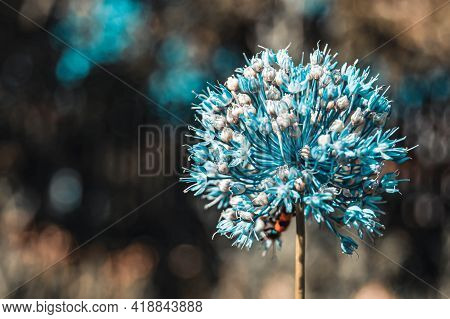 Seeds Of Garlic, The Garlic Flower. Bouquet Of Garlic Seeds. Future Harvest. Small Seeds.