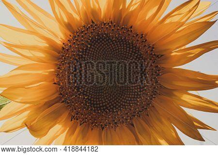 Sunflower Natural Background. Sunflower Blooming. Close-up Of Sunflower. Sunflowers Symbolize Adorat