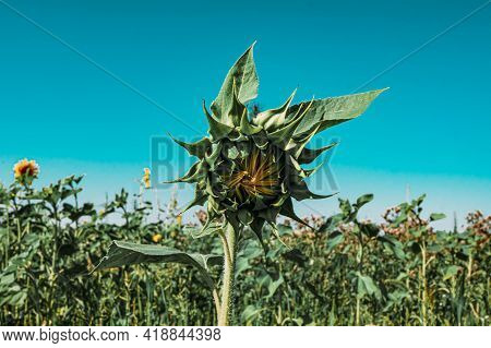 A Sunflower In A Field Of Sunflowers. Harvest Of Sunflowers. Collecting Seeds In The Summer. Extract