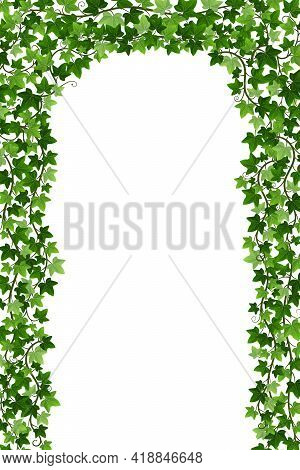 Ivy Creeper Arch Isolated On White Background. Green English Ivy Liana Fence With Climbing Branches.