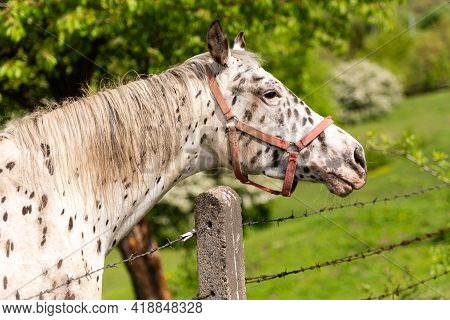White Horse With Spots. A Horse Stands At A Fence With Barbed Wire. Bright Spring And Beautiful Weat