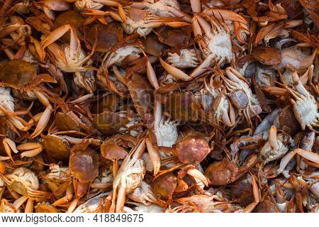 Collection Of Large Quantity Red Seacrabs For Export With Shallow Depth Of Field.