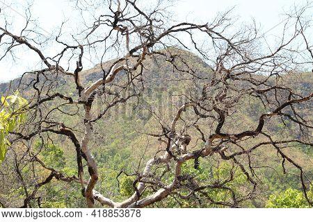 Alto Paraiso De Goias, Goias, Brazil - October 16 2019: Photo Of Dry Tree In The Brazilian Savannah