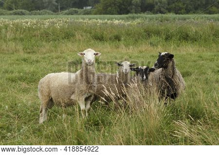 A Family Of Sheep Grazes In The Meadow. Sheep, Ram And Lambs.