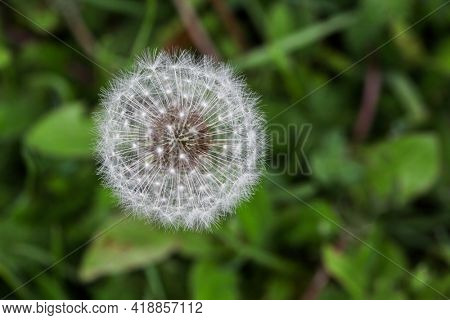 Fuzzy dandelion with green grass in background from above