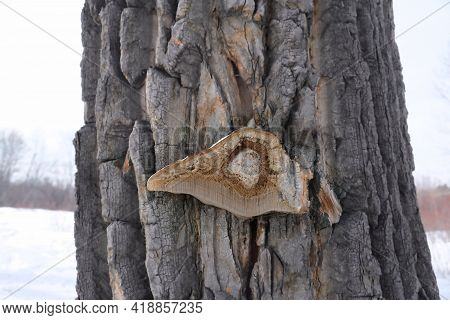 Old Tree With Cutaway Mushroom . Fungus On Decaying Wood. Mushroom  Names Tinder Fungus, Tinder Conk