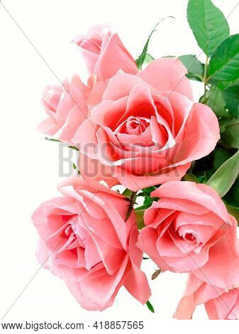 Beautiful Rose Flower In The Garden. Rose Flower Background. Roses Flower Texture. Rose Flowers On T