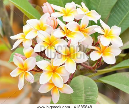 Close Up Of Frangipani Flower Or Leelawadee Flower Blooming On The Tree