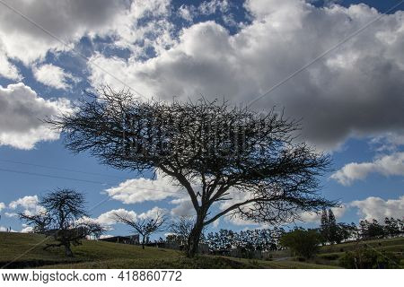 Leafless Thorn Tree With A Backdrop Of Cloudy Blue Sky