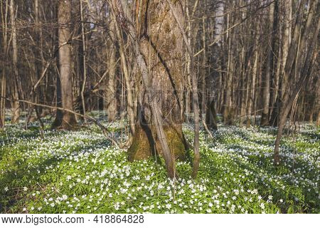 Anemone Nemorosa Flowers In Forest. Spring Nature