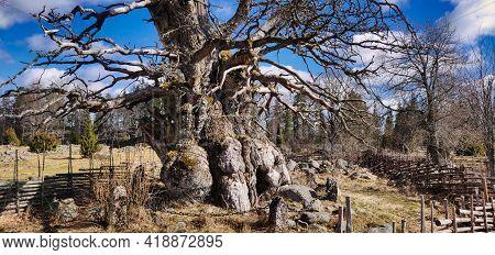 Oldest Oak Tree Of Sweden, Rumskulla Oak Leafless, Travel Destination