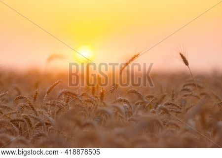 The yellow wheatfield at Sunset, shallow depth of field, Israel,  Ears of wheat close up