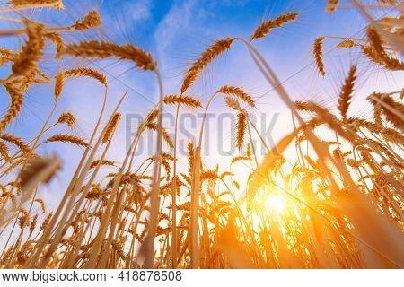 The yellow wheatfield at Sun Light,  Growing Wheat