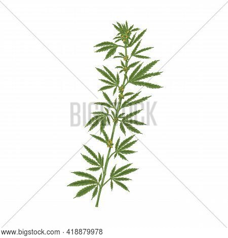 Marijuana Plant With Leaf. Realistic Hemp Or Cannabis Stem With Leaves. Colored Hand-drawn Vector Il