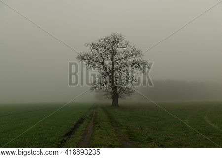 A Tall, Handsome, Lonely Tree. The Tree Is Devoid Of Leaves, It Is Early Spring. The Oak Grows Among