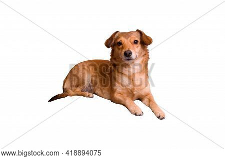 Small Ginger Dog Isolated On White Background Close Up