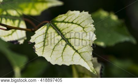 Leaf. On A Branch With Leaves. Spring Leaves. Light White-green Leaves Plants, Nature. Autumn Season