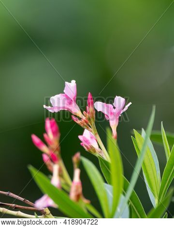 Selective Focus On The Beautiful Bloom Of Oleander Flowers (nerium Oleander), Also Known As Nerium I