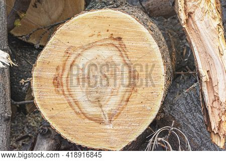Fresh Cut Of A Sawn Trunk Of An Old Tree. Annual Rings Are Visible On The Cut. Old Trees Are Cut In