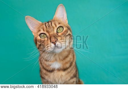 Charming And Curious Bengal Cat Isolated On Green Background