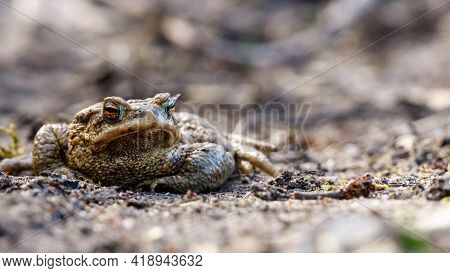 Large Common Toad, European Toad (bufo Bufo) Resting On The Sandy Road At The Beginning Of Spring Ma