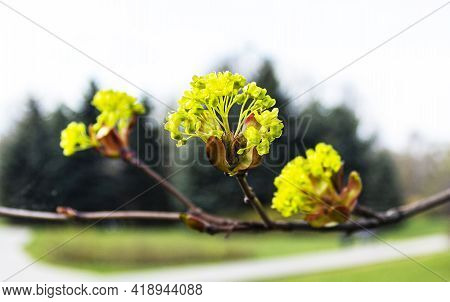 Branches Of Spring Flowers Of The Norway Maple. Blooming Norway Maple, Acer Platanoides, Flowers Wit