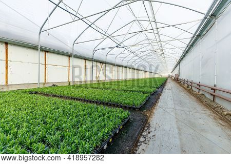 Horticulture Industry Concept With Millions Of Seedlings In Pots. Greenhouse For Growing Plants And