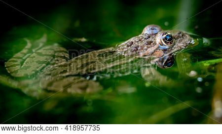 One Pool Frog Is Swimming In Water. Pelophylax Lessonae In The Vegetation Area. European Frog. Tranq