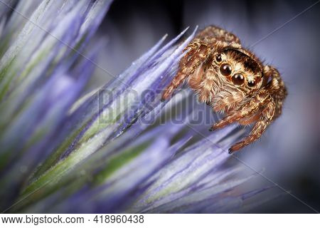 Jumping Spider On The Blue Sea Holly Flower