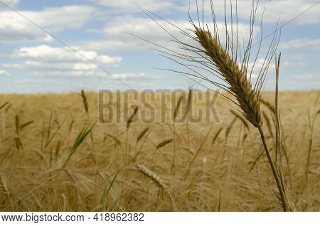 Wheat Fields. Ears Of Golden Wheat Close Up. The Setting Sun Shines With Rays On The Ears Of Wheat.