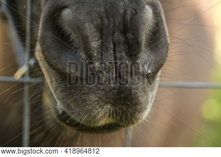 Close Up View Of Captivity Horse Mouth In A Stable, Domestic Animal Breed