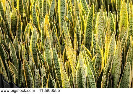 Garden Plants - A Plant Cultivation Sansevieria Trifasciata
