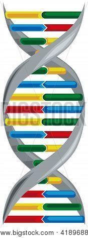 Vector Illustration Of Scheme Deoxyribonucleic Acid.