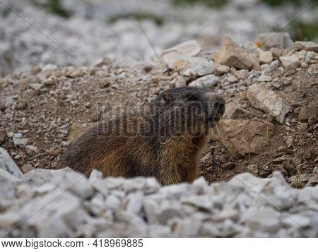 Closeup Detail Of An Alpine Marmot Squirrel Marmota Animal Wildlife Sitting In Stone Rock Burrow At