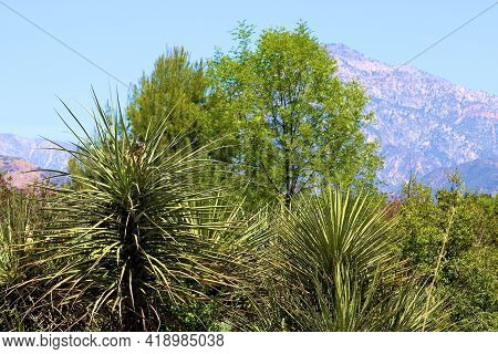 Chaparral Shrubs And Trees Including Yucca Plants On A High Desert Plateau With The San Gabriel Moun