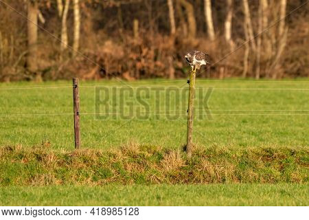 Large Buzzard, Landing On A Pole At The Edge Of A Ditch In A Mea