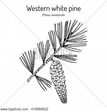 Western White Pine Pinus Monticola , State Tree Of Idaho. Hand Drawn Botanical Vector Illustration