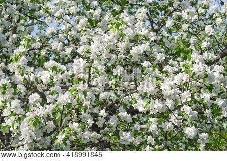 Lush Plum Blossom In The Wild. White And Pinkish Fragile Flowers In Early Stage Of Flowering Densely