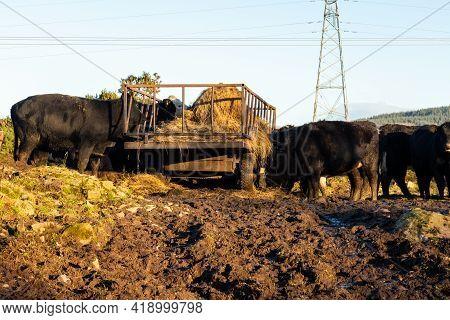 Cattle Feeding On Hay From A Trailer In A Heavily Trampled, Muddy Field In Winter In Scotland