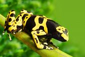 The poison dart frog Dendrobates leucomelas in a rainforest. poster