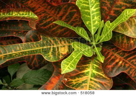 Lush Croton