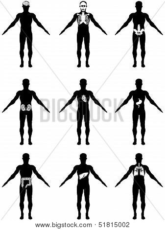 Human Organs In Body Icons