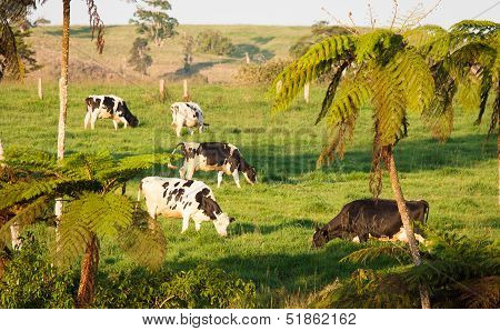 Cows Grazing In Green Pasture