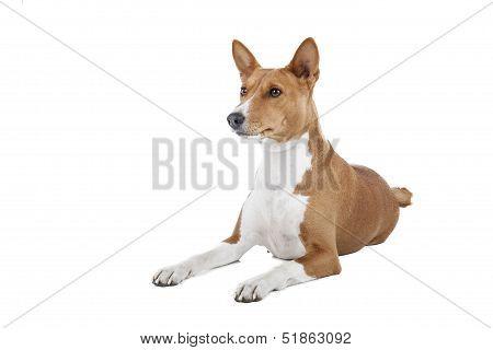 Basenji Dog Or African Nela