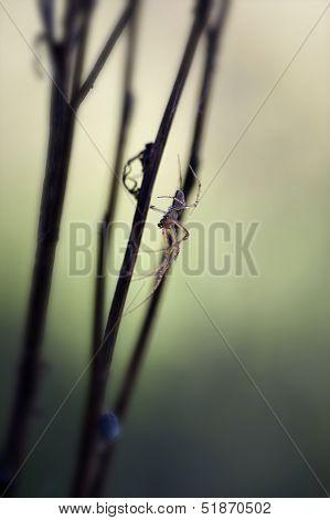 Autumn Spider - Metellina