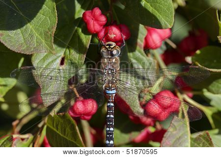 Autumn Hawker - spindle bush