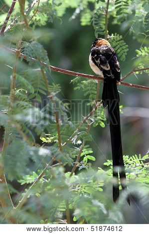 LongTailed Black Bird