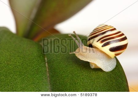 Small striped grove snail on green leaf looking back macro shoot poster