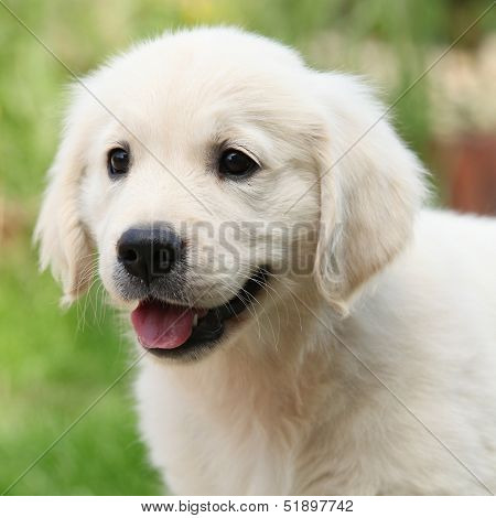Gorgeous Golden Retriever Puppy