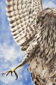 Extreme closeup of a hawk in flight hunting for prey. poster